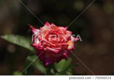아라 오시 거친 소리 모야 시민 화단 장미 꽃, 70098014
