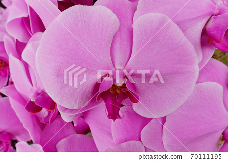 Close up of orchid flower blossom  70111195