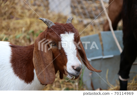 Closeup brown and white color of goat eating the grass in the mouth. 70114969