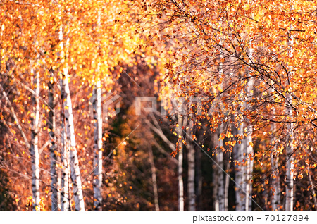 Majestic birch forest with yellow and orange folliage 70127894