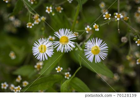 韓國野花和野花 70128139