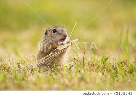 European ground squirrel feeding with grain on a meadow in summer. 70138542