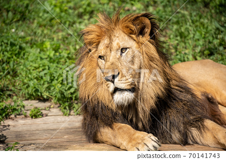 Lion lying on the grass with a calm face expression 70141743