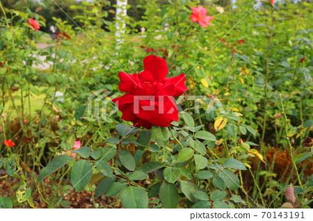 rose 70143191