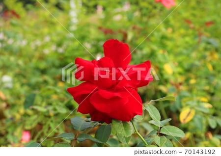 玫瑰 70143192