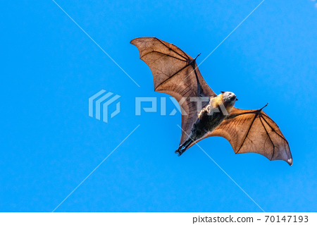 Isolated fruit bat, flying fox, on a blue sky background 70147193