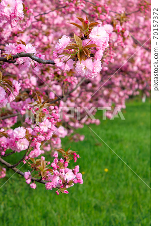 pink sakura blossom above the green grass. nature beauty in springtime. 70157372