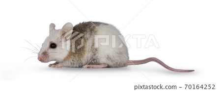 African rat aka Mastomys Natalensis on white 70164252