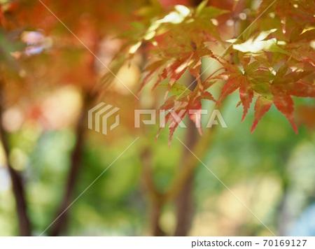 한국의 가을 단풍나무 풍경  70169127