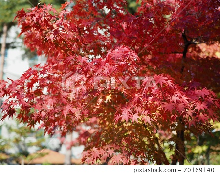 한국의 가을 단풍나무 풍경  70169140