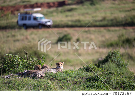 A cheetah mother with two children in the Kenyan savannah 70172267