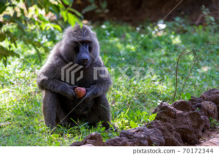 A baboon has found a fruit and nibbles on it 70172344
