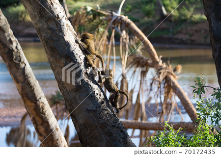 A little monkey is playing on a tree branch 70172435