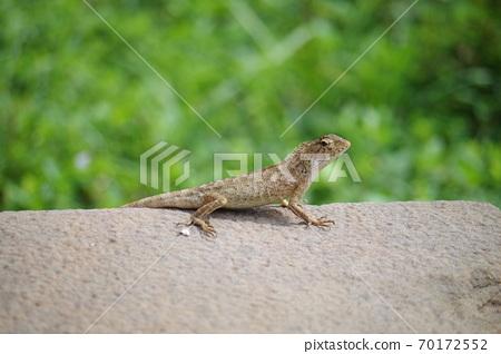 越南發現蜥蜴② 70172552