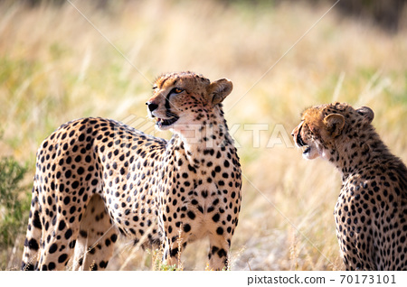 A cheetah couple sits in the grass and looks into the distance 70173101