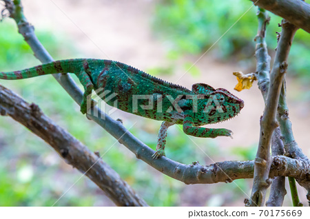 A chameleon moves along a branch in a rainforest in Madagascar 70175669