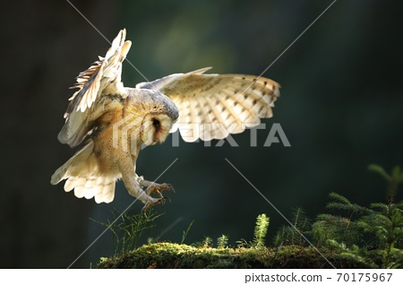 Barn owl landing on moss stone in summer sunlight. 70175967