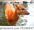 鹿進入池塘 70186947