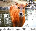 鹿進入池塘 70186948