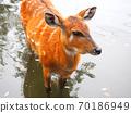 鹿進入池塘 70186949