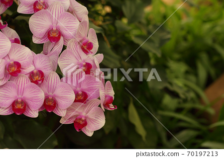 Orchid flower in garden at winter  70197213