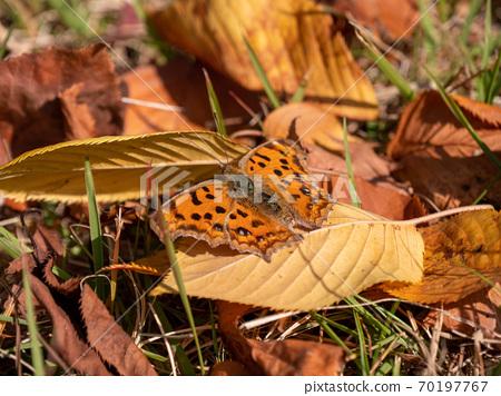 낙엽위에있는 나비의 모습 70197767