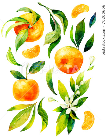 Watercolour bright sketch of ripe mandarin fruit. Watercolor illustration for any colourful design. Hand drawn mandarin isolated on white background. 70200606
