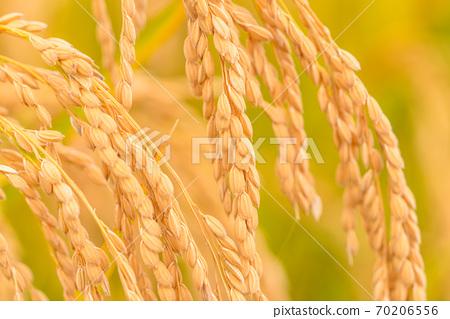 米飯,金米耳朵 70206556
