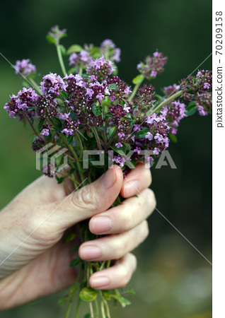girl with a bouquet of Thymus serpyllum 70209158