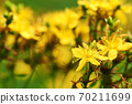 Close-up photo of St. John's wort flower with defocused yellow-green summer meadow. 70211699