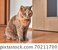 Photo of a British shorthair cat with big eyes. She is sitting on the wooden floor in a room with the door. 70211700
