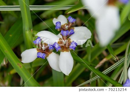 花 花卉 小花 小白花 巴西鳶尾 馬蝶花 玉蝴蝶 鳶尾科 70213254