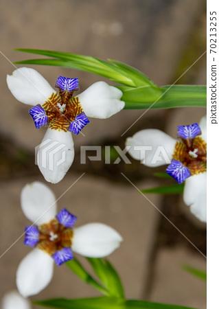 花 花卉 小花 小白花 巴西鳶尾 馬蝶花 玉蝴蝶 鳶尾科 70213255