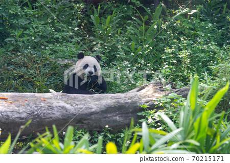 動物 台北市動物園 台北木柵動物園 大貓熊 大熊貓 70215171