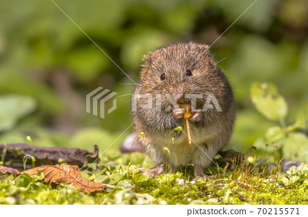 Field vole eating berry 70215571