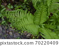 Beautiful fern leaves in the forest. 70220409