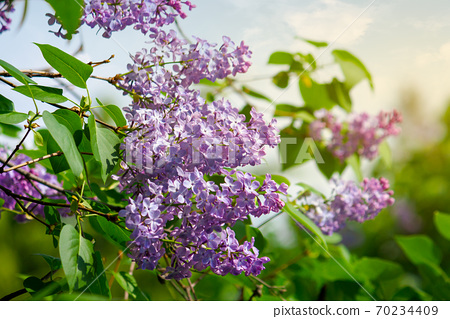 lilac blossom. beautiful scenery in the garden. sunny nature background in springtime 70234409