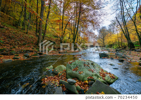mountain river in beech forest. beautiful autumnal scenery of carpathian woodland. trees in fall colors. boulders in the stream. nature freshness concept 70234450