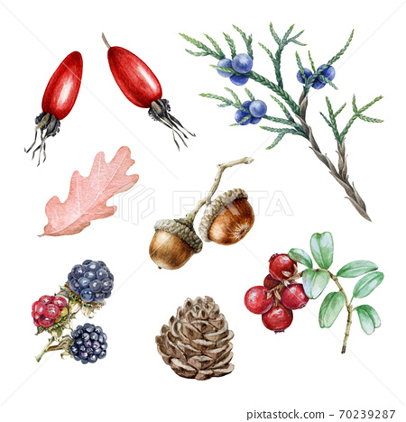 Forest wild berries watercolor illustration set.  70239287