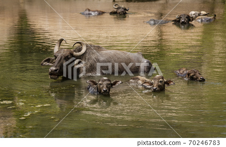 Water Buffalo Mother and Calves Lie in Deep Water 70246783