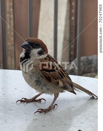 The sparrow 70247969