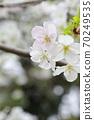 樱桃树 70249535