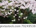 樱桃树 70249536