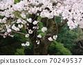 樱桃树 70249537