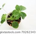 香港木棉观叶植物 70262343