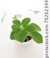 Hong Kong Kapok foliage plant 70262344