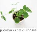 香港木棉观叶植物 70262346