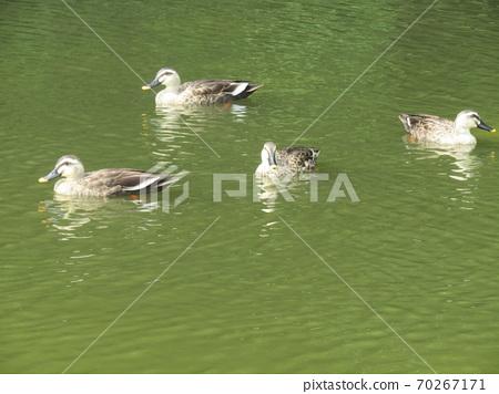 英格海濱公園的鴨子 70267171