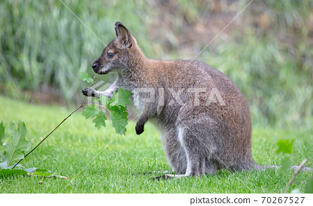 Red-necked Wallaby - Macropus rufogriseus 70267527