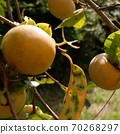 Persimmon in the back mountain 70268297